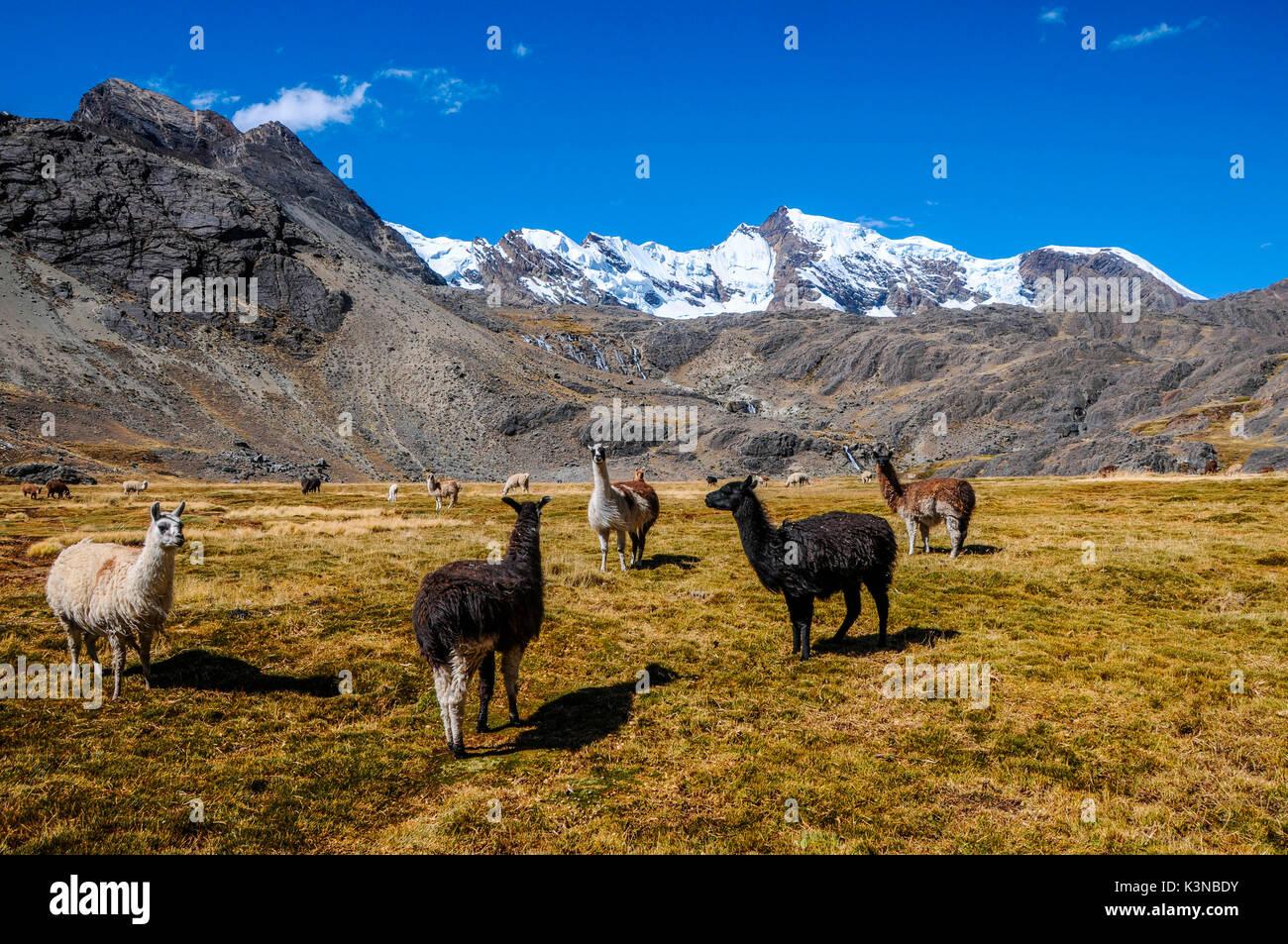 Bolivia, La Paz district, Llamas in the Bolivian plateau - Stock Image