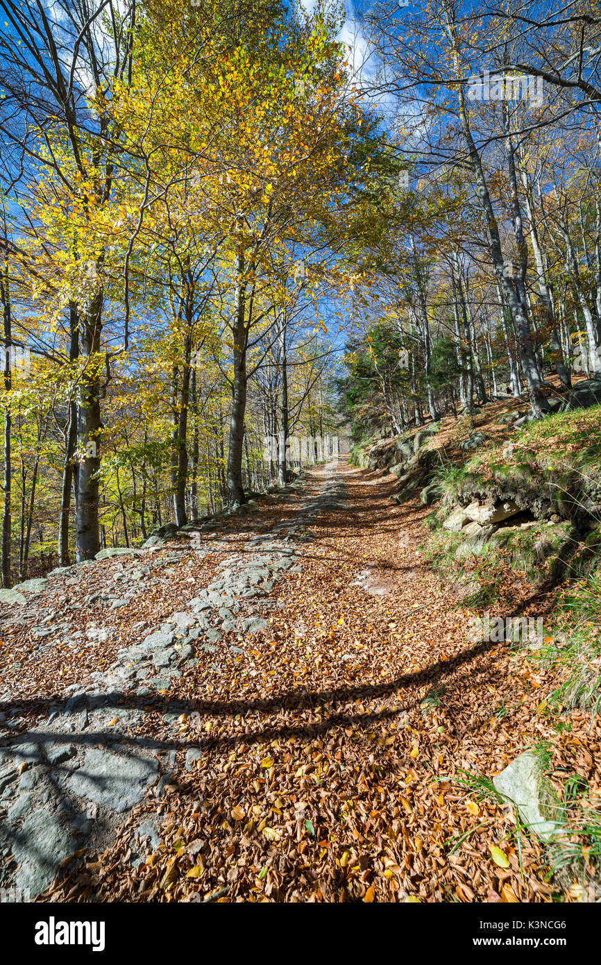 Dirt trail in the forest of beeches in autumn (Oropa Valley, Biella province, Piedmont, Italy, Europe) - Stock Image