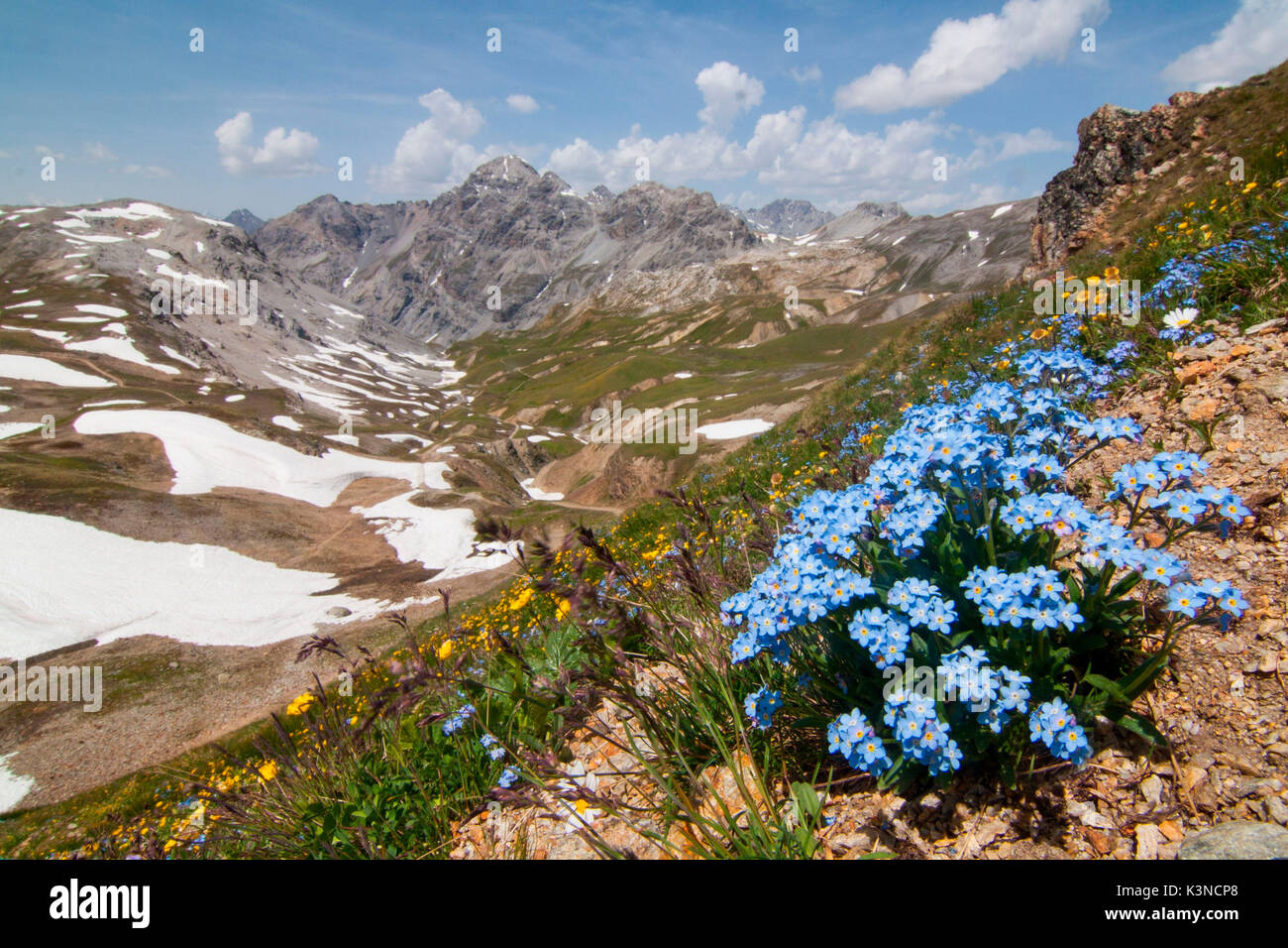Forgot-me-not flowering in Forcola valley, Stelvio, Valtellina, Lombardy - Stock Image