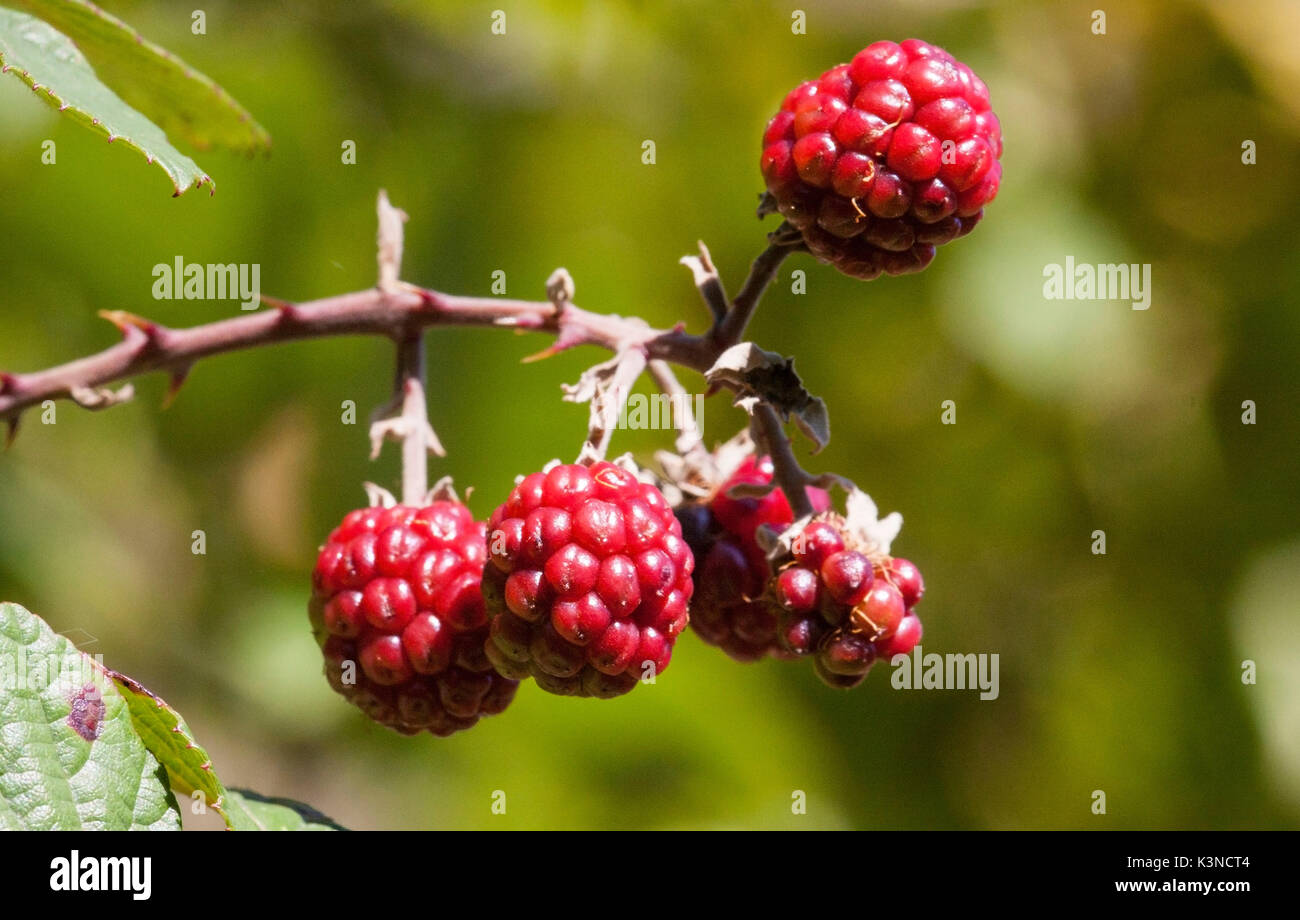 More red bramble, Rubus fruticosus - Stock Image