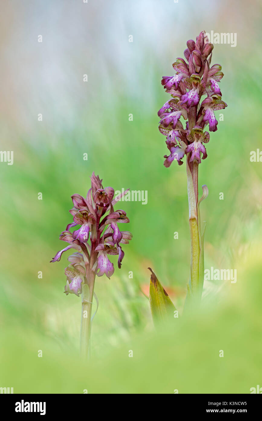 Parma,Emilia Romagna,Italy A copy of spontaneous Barlia robertiana orchid photographed in the countryside of Parma - Stock Image