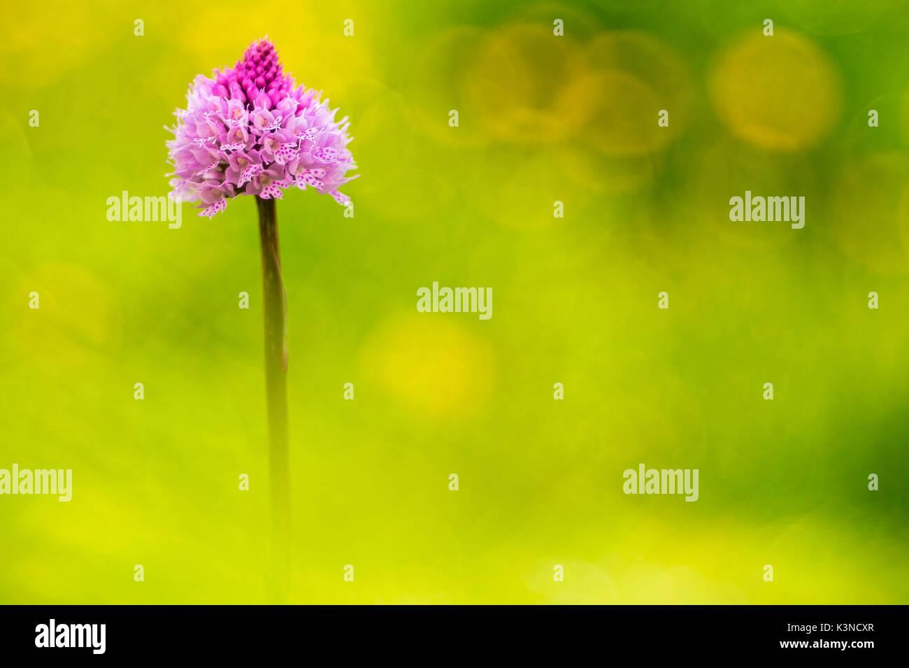 Gaver,Bagolino,Lombardy,Kenya An orchid spontaneous recovery Traunsteinera globular to flat gaver - Stock Image