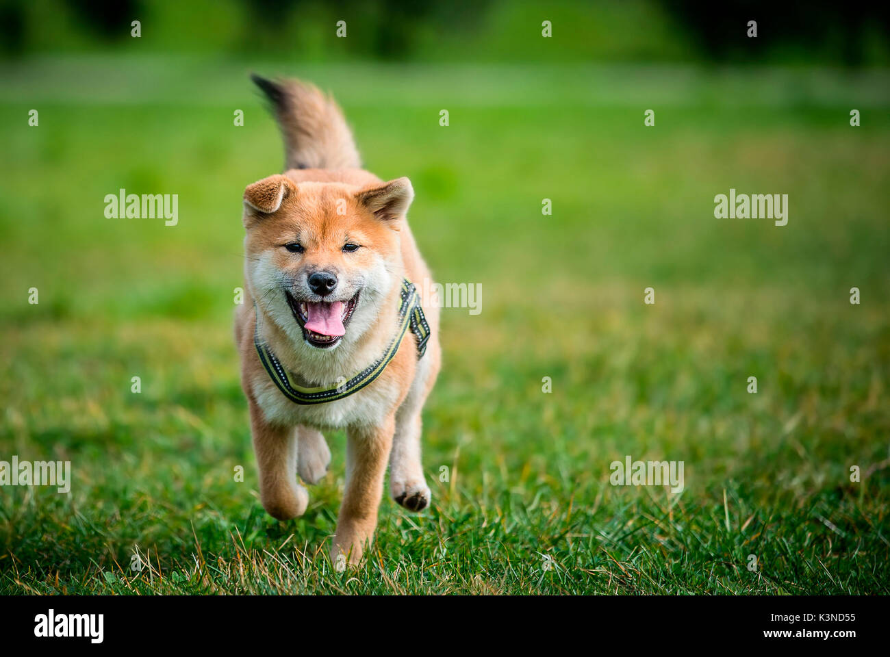 Brescia, Lombardy, Italy Shiba inu puppy photographed while he is running - Stock Image