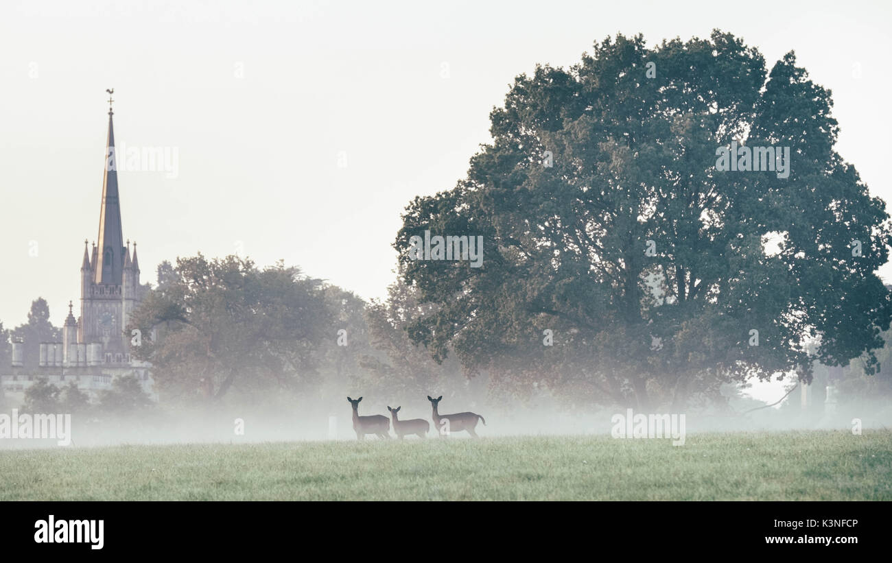 Deer in the mist on an autumn morning outside Ashridge House, Berkhamsted, Herfordshire - Stock Image