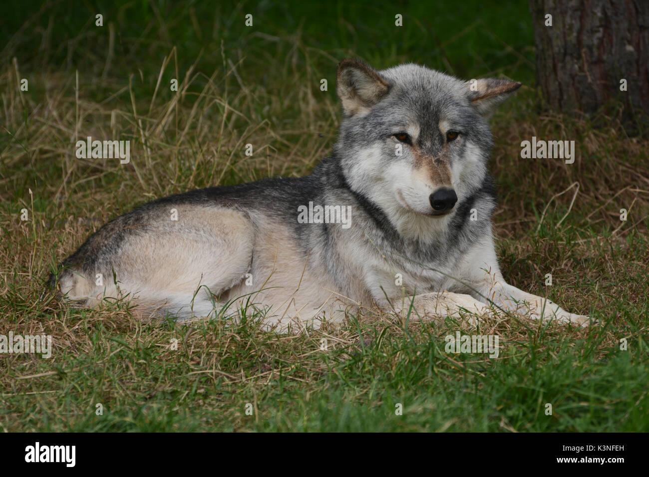 Wolf - Stock Image