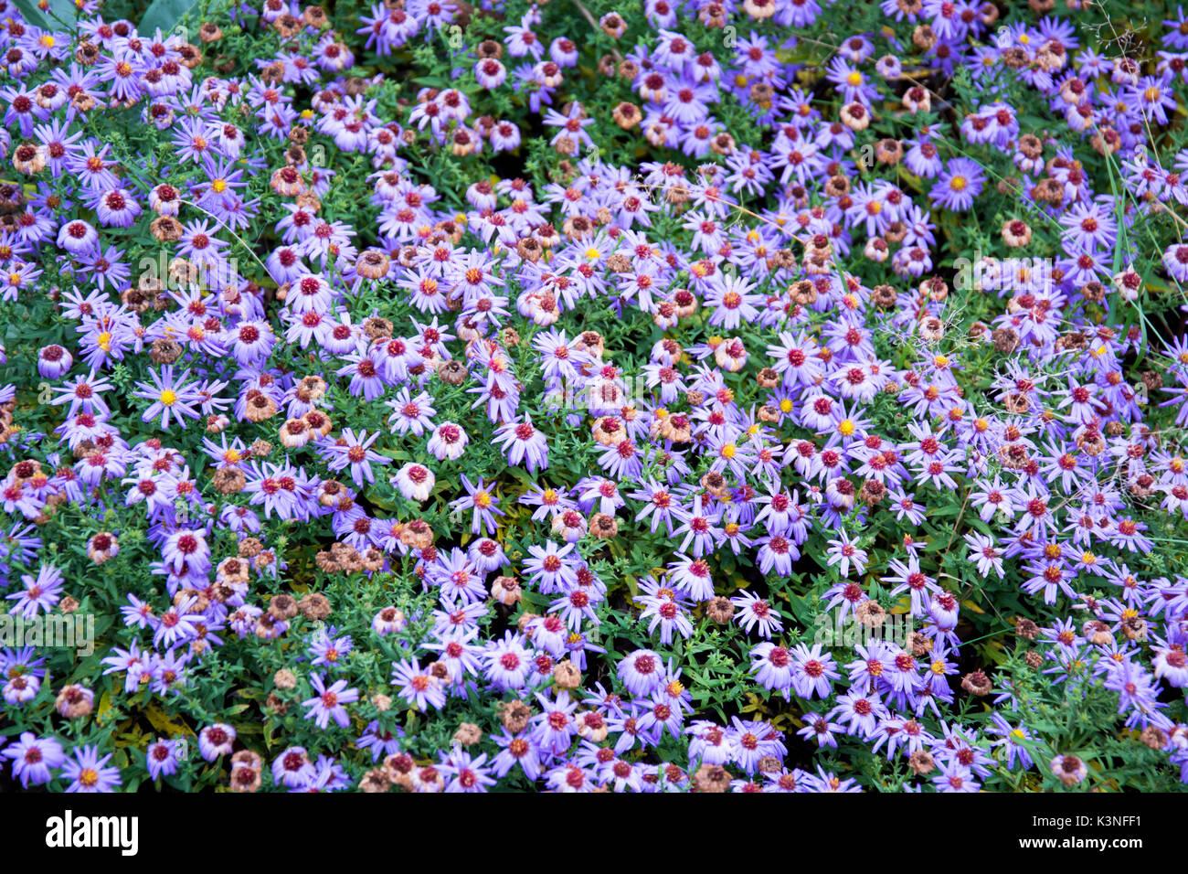 Purple flower field - Stock Image
