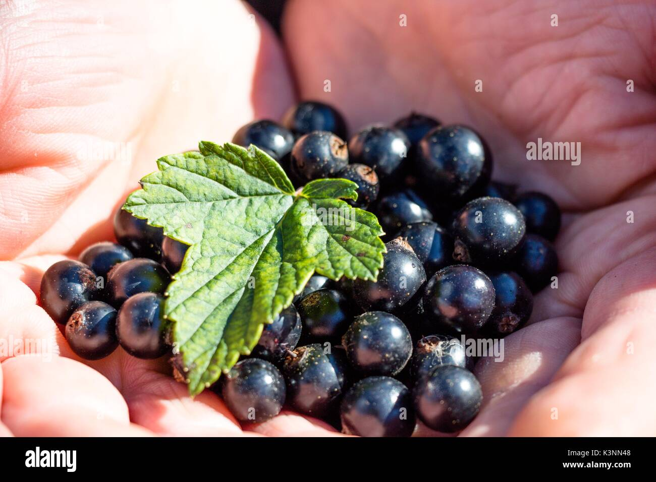 In the hard-working and wrinkled hands of the man lies fresh, only the currant berry and the currant sheet are lured. - Stock Image