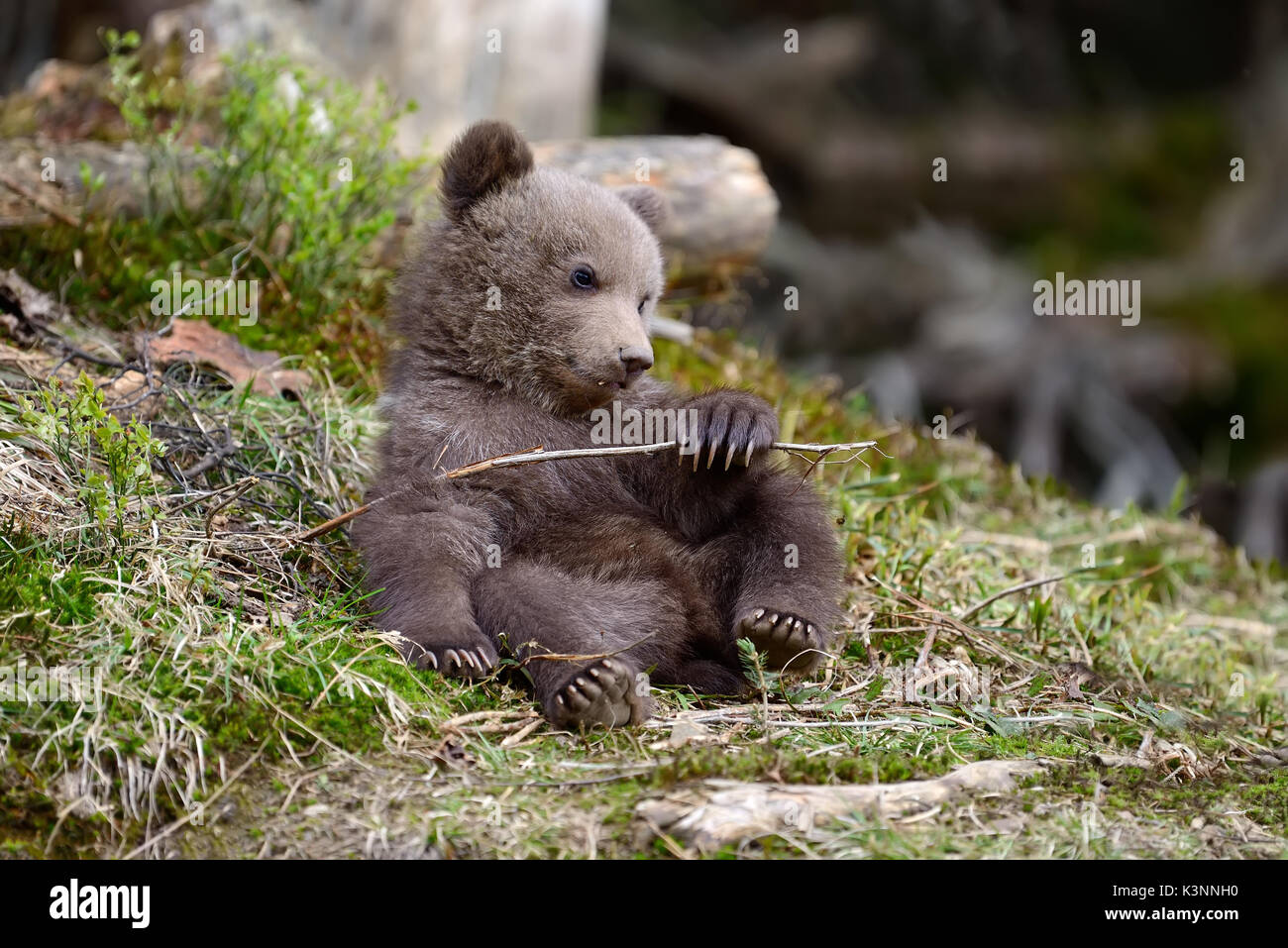 Young brown bear in the forest. Portrait of brown bear. Animal in the nature habitat. Cub of brown bear without Stock Photo