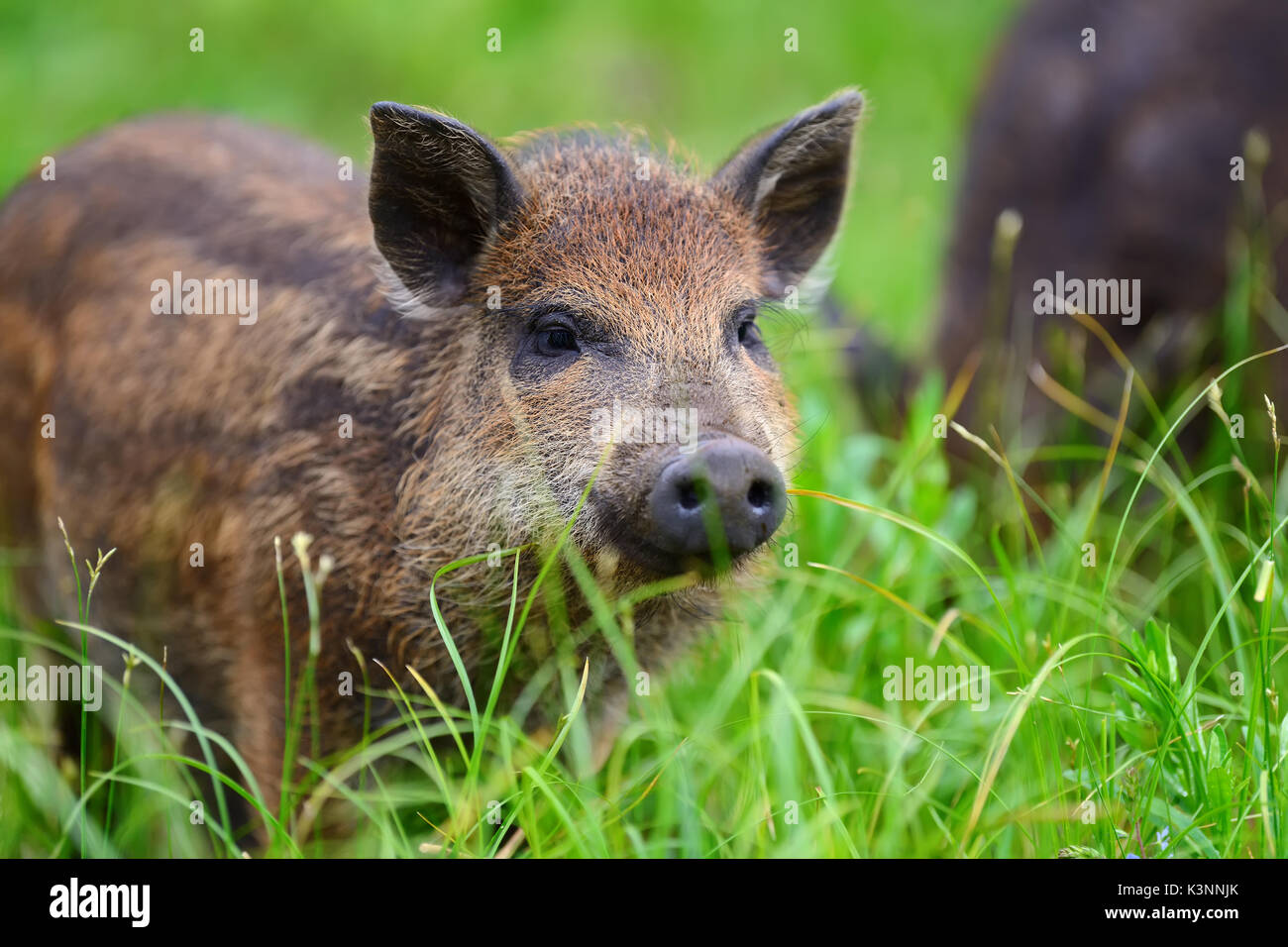 Wild boar on the forest in summer time - Stock Image