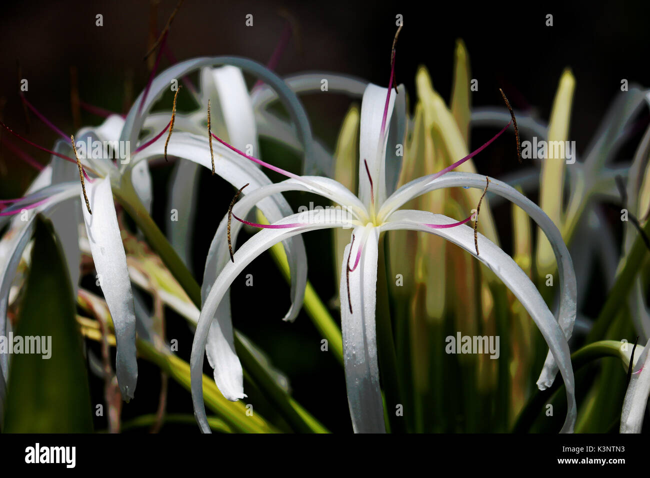 Queen Emma / Crinum Lily Flower Common in Florida. Stock Photo