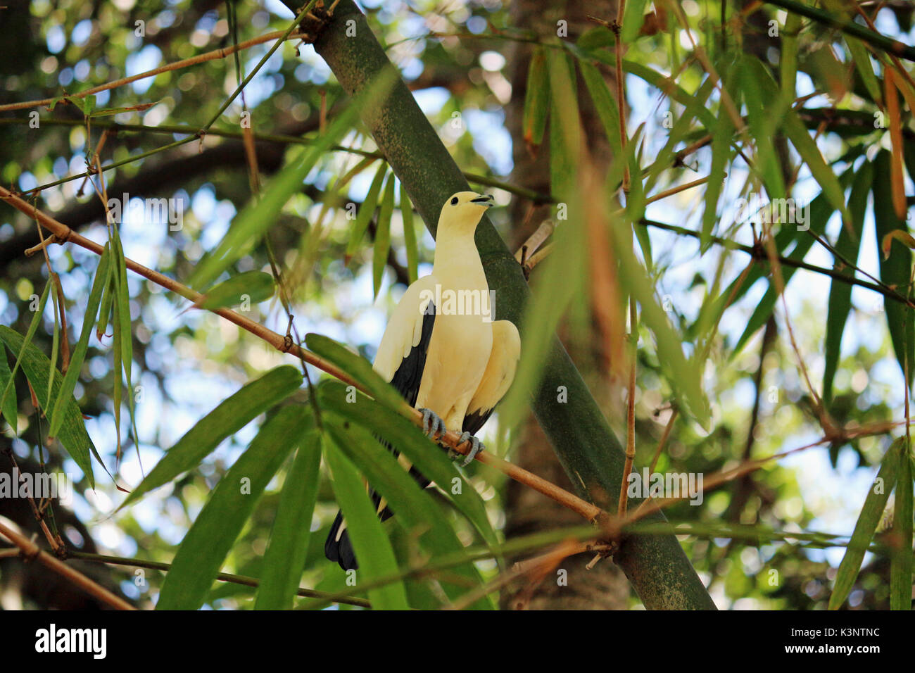 A Yellow Pied Pigeon in the Tree Tops on a Tree Branch, - Stock Image