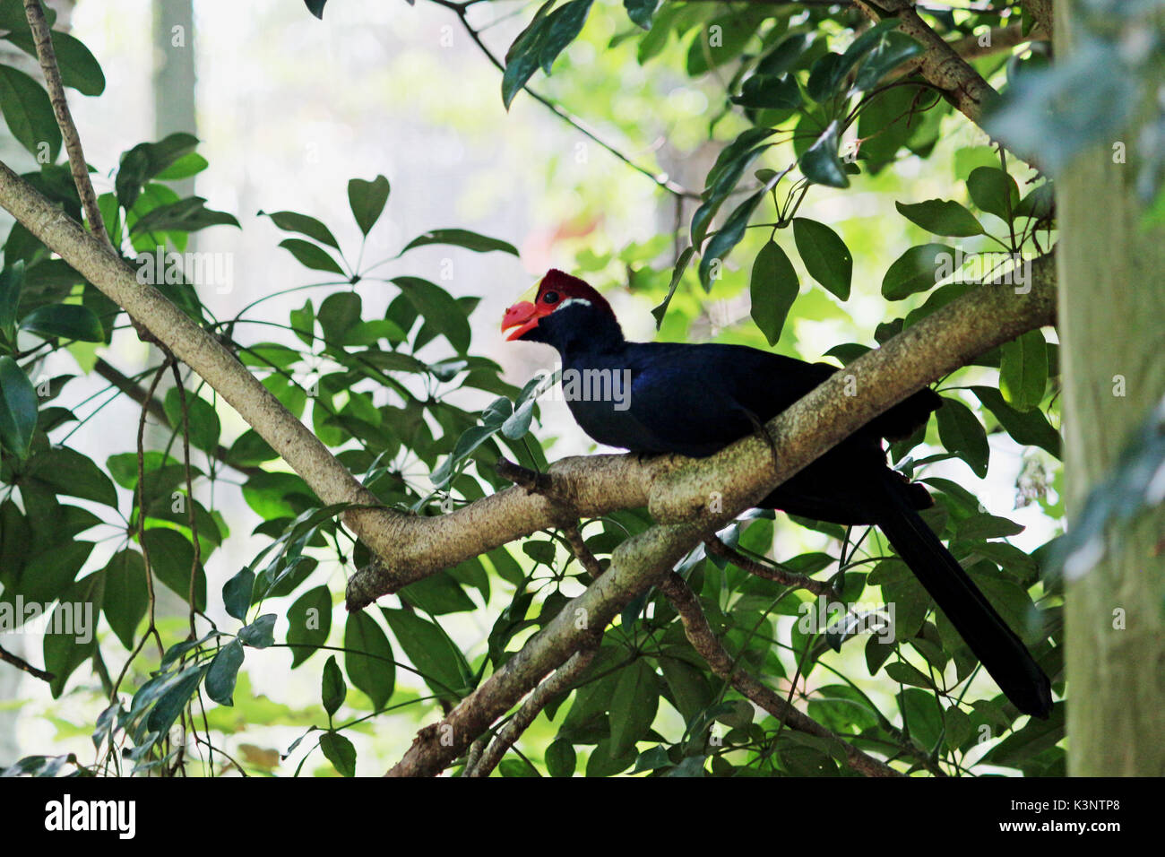 A Violet Turaco Bird Perched on a Tree Branch - Stock Image