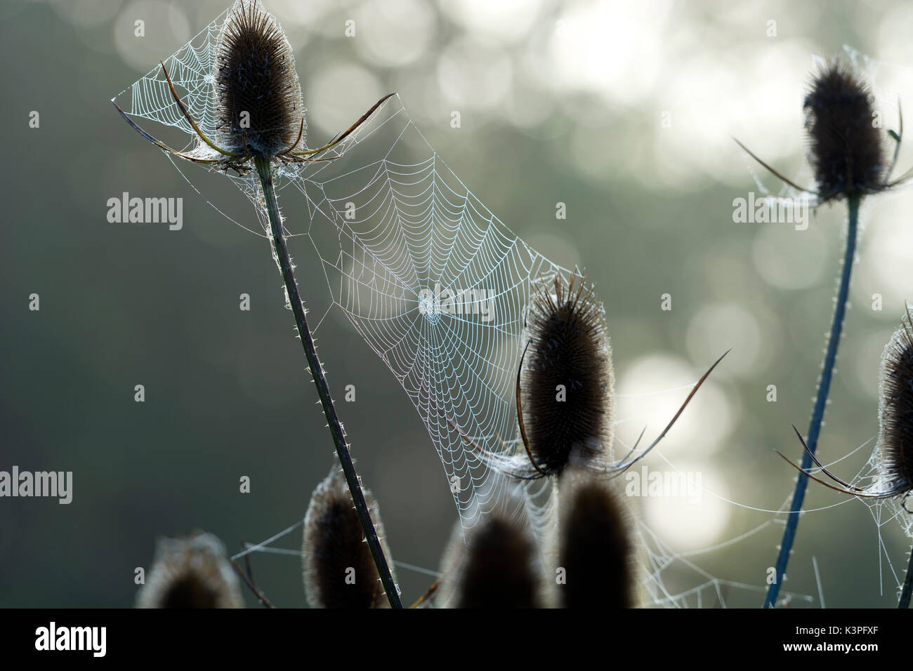 Teasels with morning dew on spiders webs, Kingsbury Water Park, Warwickshire, UK - Stock Image