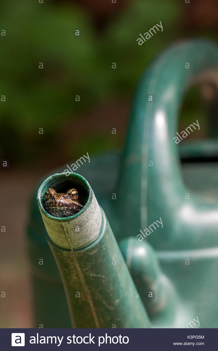 common frog in watering can spout - Stock Image