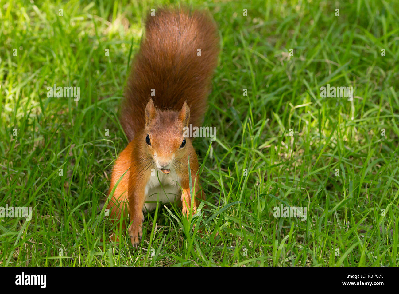 Red squirrel Sciurus vulgaris native species in Britain and Ireland with red orange fur large bushy red tail. Has Stock Photo