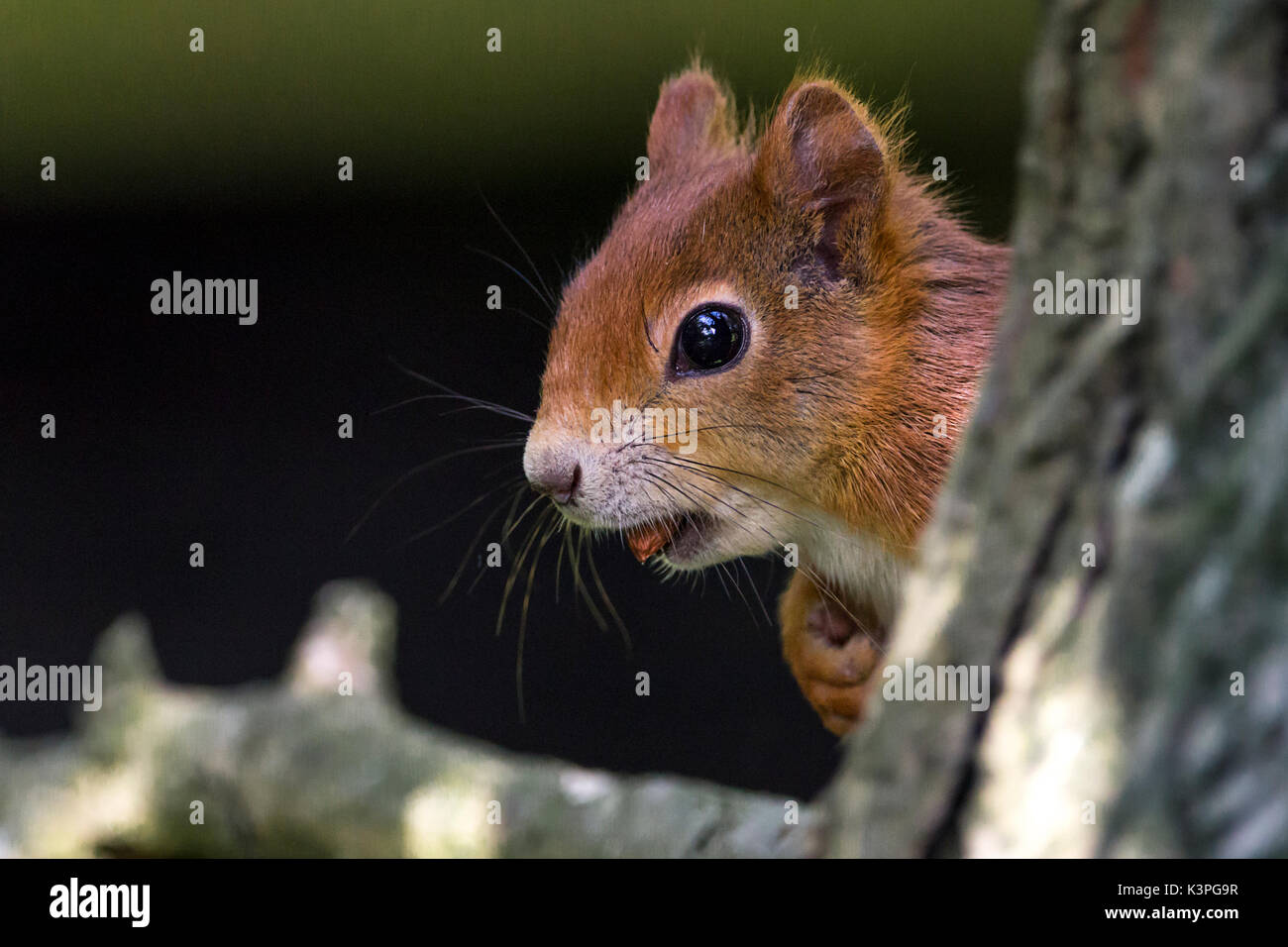 British red squirrel Sciurus vulgaris native species in Britain and Ireland with red orange fur. Large bushy paler Stock Photo