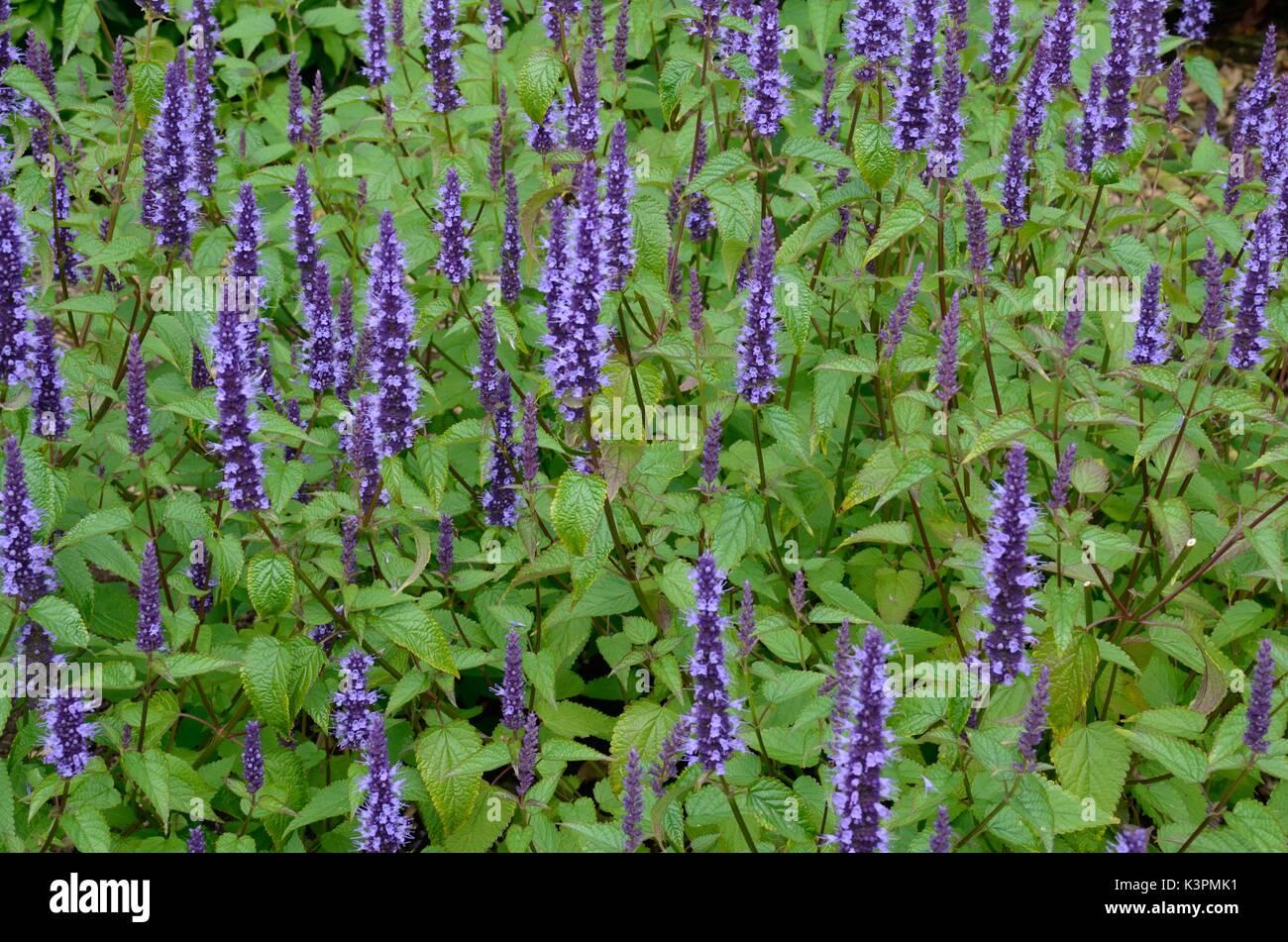 Agastache hybrida Astello indigo hyssop deep blue mint scented flower spikes - Stock Image