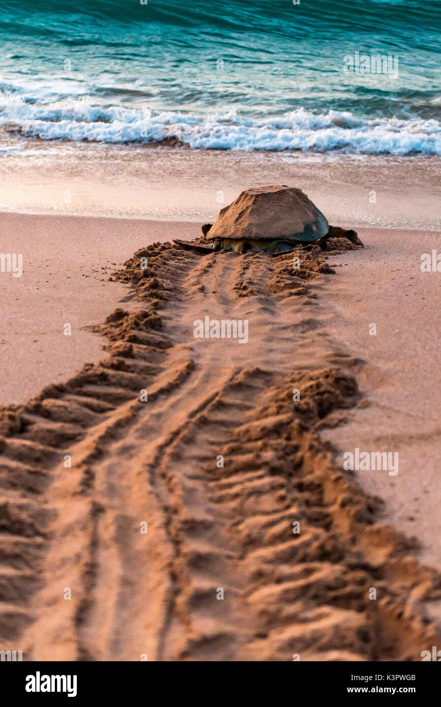 Ras Al Jinz, Turle Reserve, Sultanate of Oman, Middle East. Green sea turtle returning to sea. - Stock Image