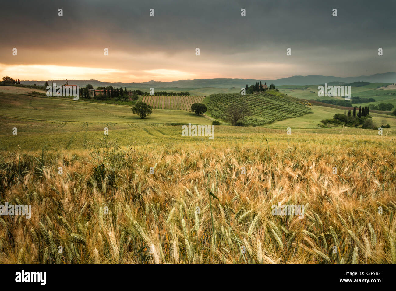 Sunrise on the fields of ears of corn and the gentle green hills of Val d'Orcia province of Siena Tuscany Italy Europe - Stock Image