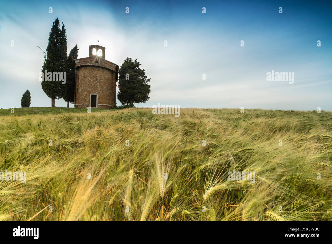 Fields of ears of corn on the gentle green hills of Val d'Orcia province of Siena Tuscany Italy Europe - Stock Image