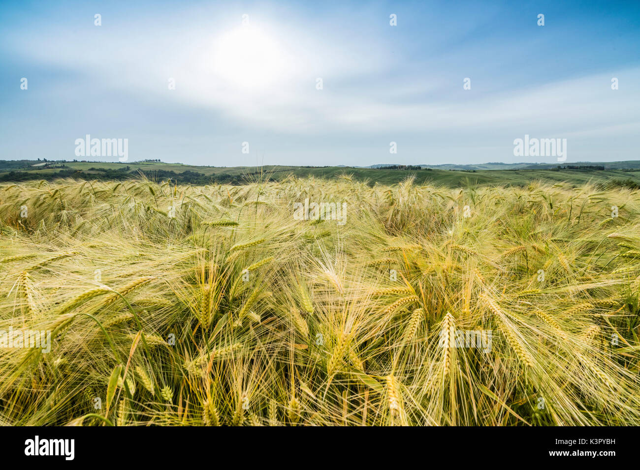 Fields of ears of corn and on the gentle green hills of Val d'Orcia province of Siena Tuscany Italy Europe - Stock Image