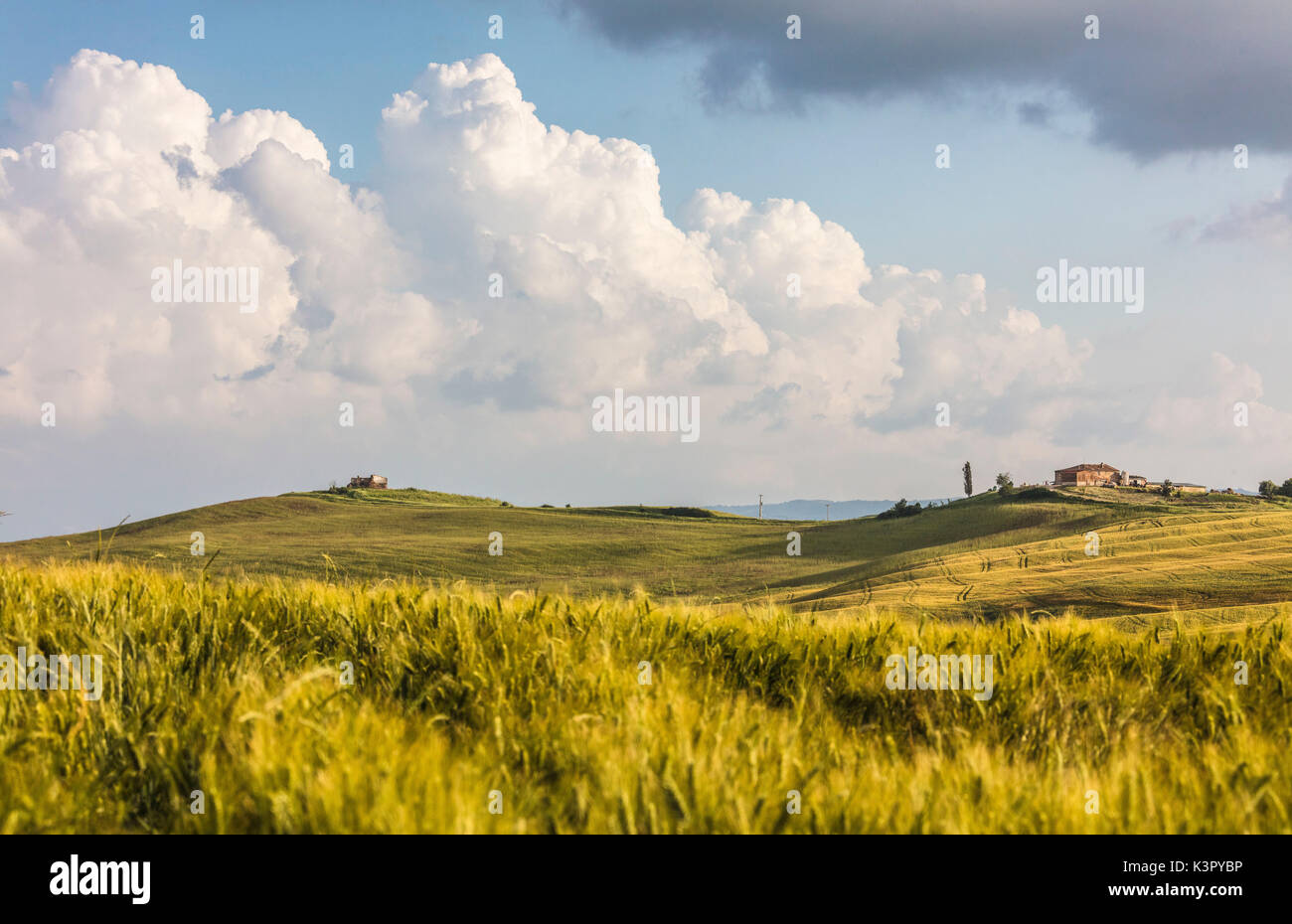 Ears of corn frame the green rolling hills and farm houses Crete Senesi (Senese Clays) province of Siena Tuscany Italy Europe - Stock Image