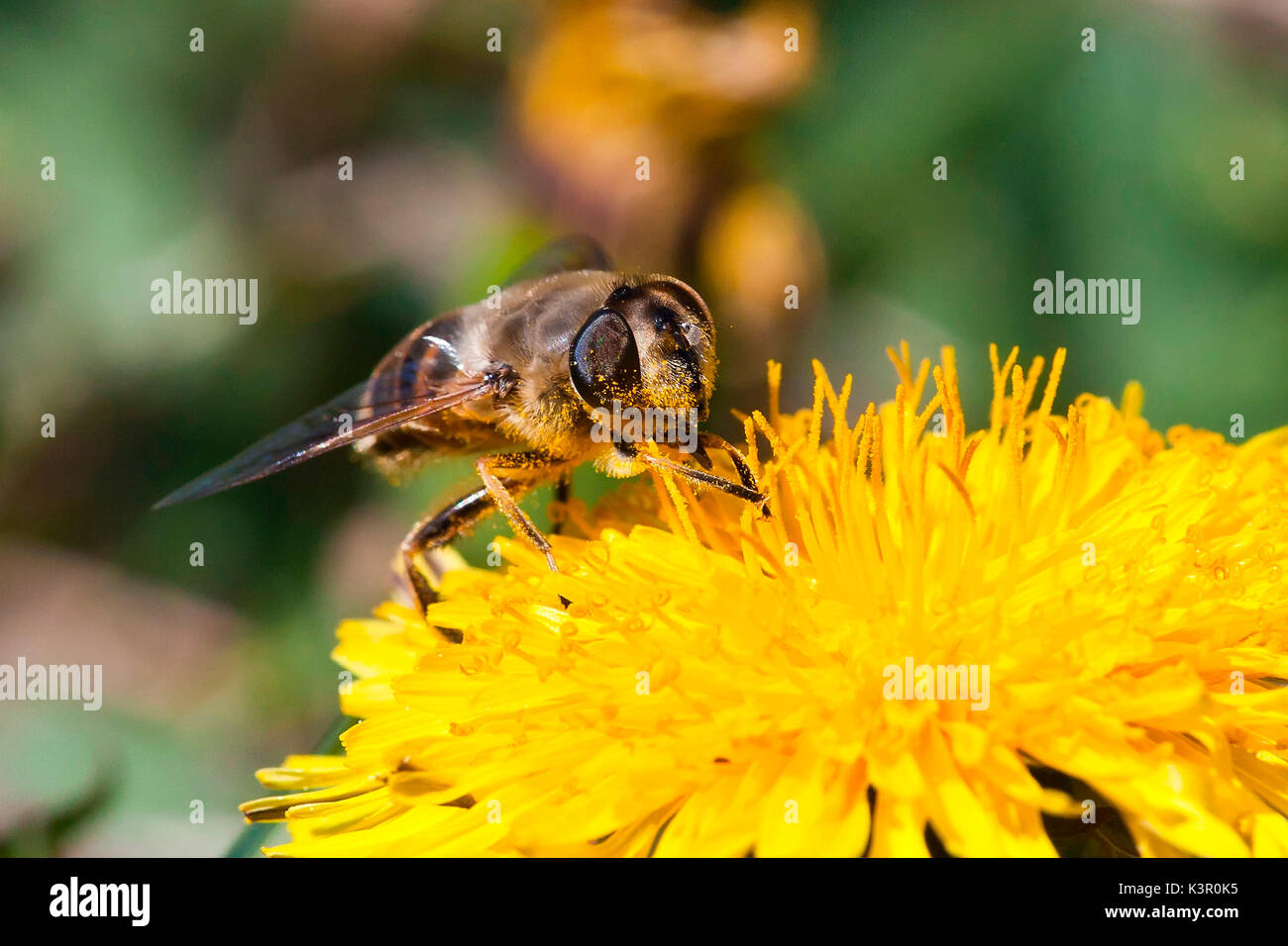 A bee sucking nectar from a dendelion. Lombardy Italy Europe Stock Photo