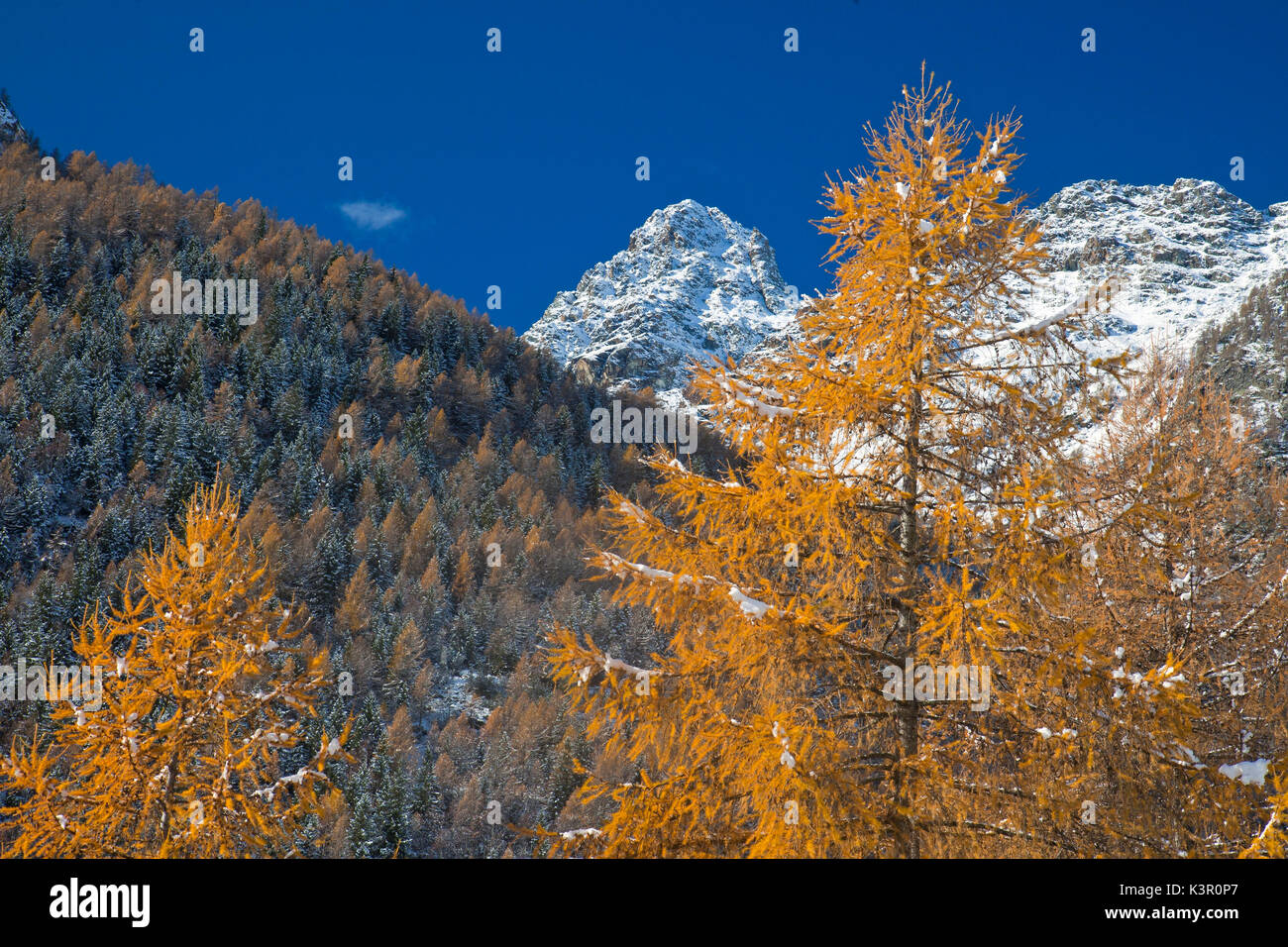 The yellow larches and the snow-capped peak of Punta Rosalba are tangible signs of the upcoming winter in Valmalenco, Valtellina, Lombardy Italy Europe - Stock Image