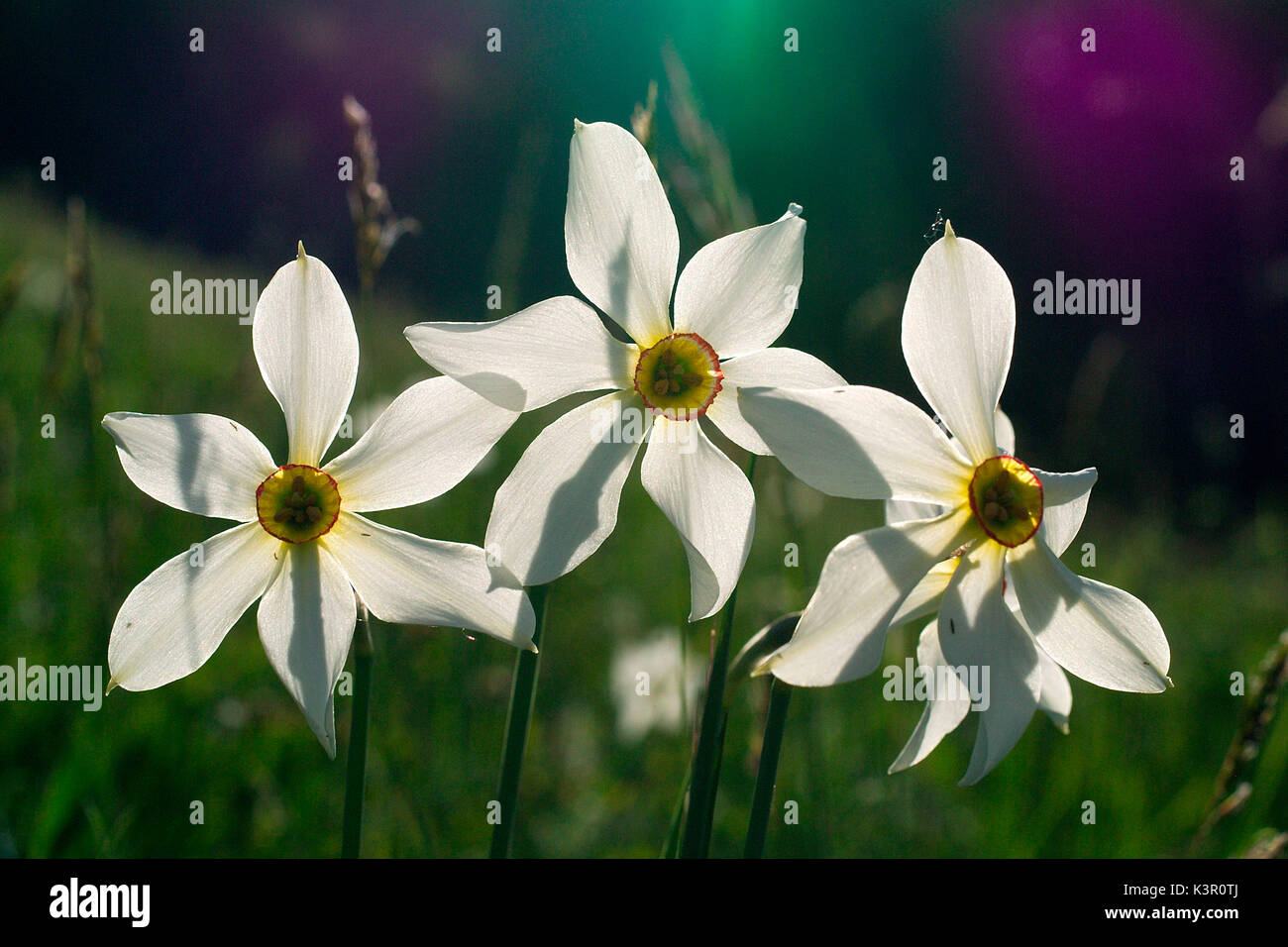 Narcissus is a genus of mainly hardy, mostly spring-flowering, bulbous perennials in the Amaryllis family, subfamily Stock Photo