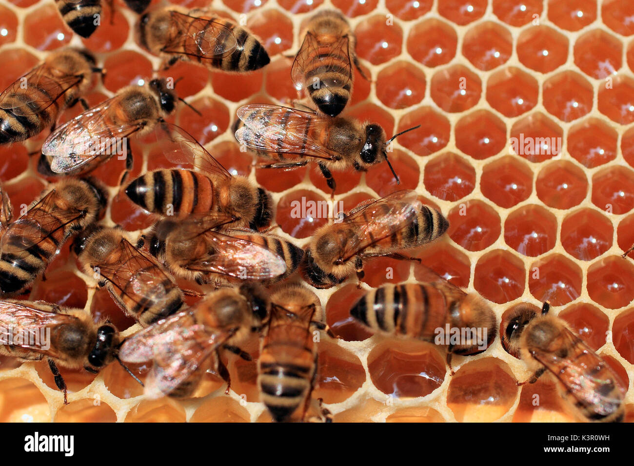 A honey bee colony typically consists of three kinds of adult bees: workers, drones, and a queen. Several thousand worker bees cooperate in nest building, food collection, and brood rearing. Valtellina Lombardy Italy Europe - Stock Image