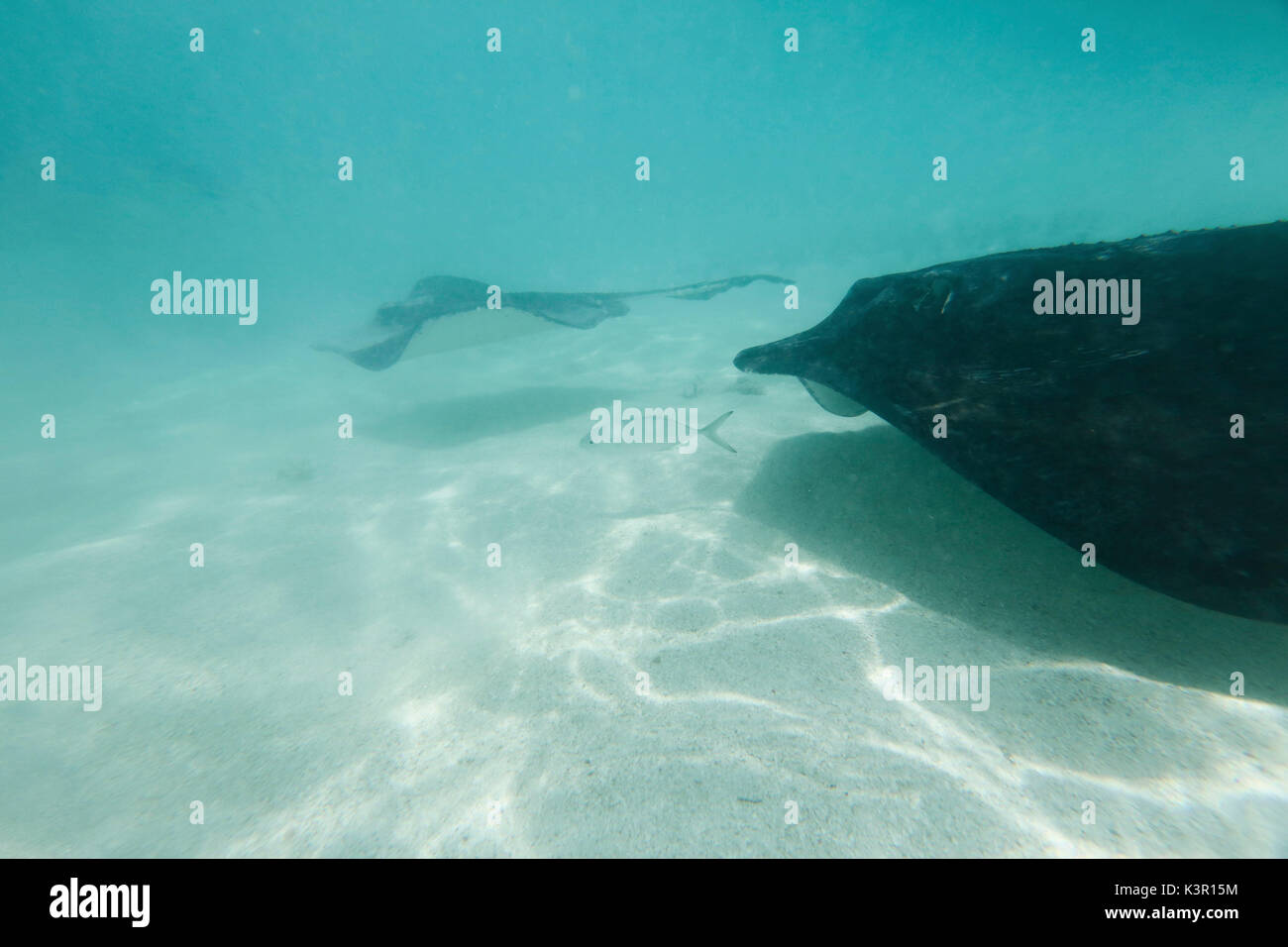 The underwater tropical world Stingray City Saint Philip Caribbean Antigua and Barbuda Leeward West Indies - Stock Image
