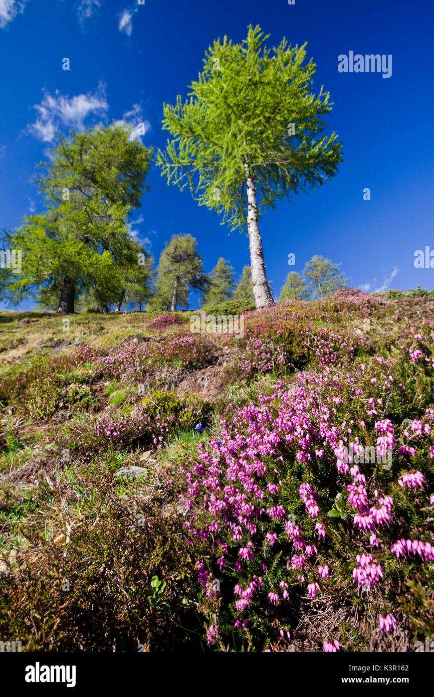 Erica carnea (winter heath, winter flowering heather, spring heath, alpine heath) is a species of flowering plant in the family Ericaceae native to mountainous areas of central and southern Europe, where it grows in coniferous woodlands or stony slopes - Stock Image