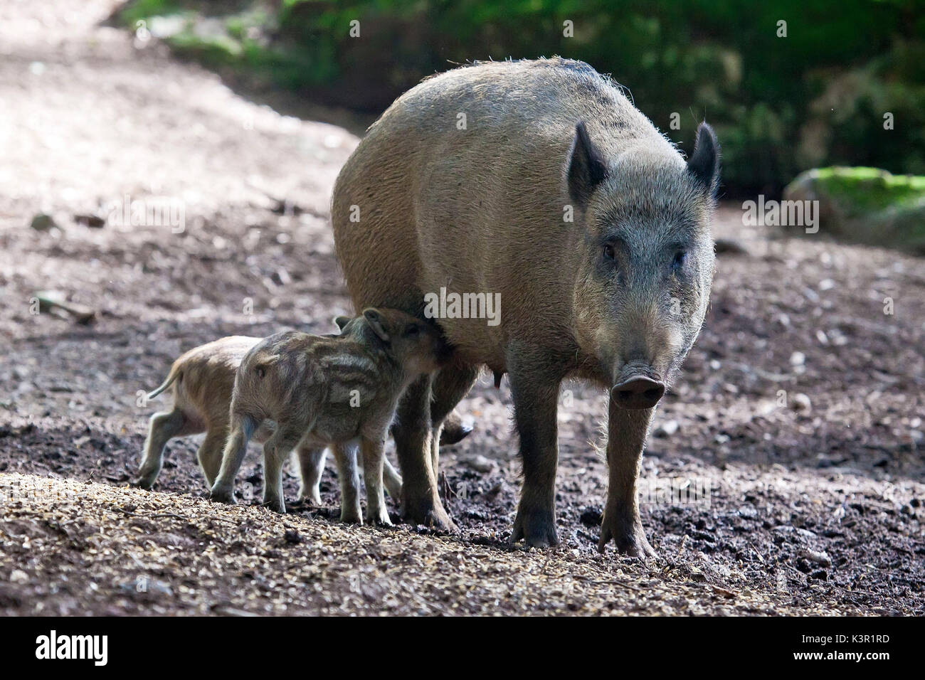 The european boar (Sus Scrofa), from the family bof the pigs, lives in the woods of the Alps even if it can adapt to every kind of habitat. In this picture the mother is feeding the cubs in the woods of Baviera ( Bayerischewald) Germany Europe - Stock Image