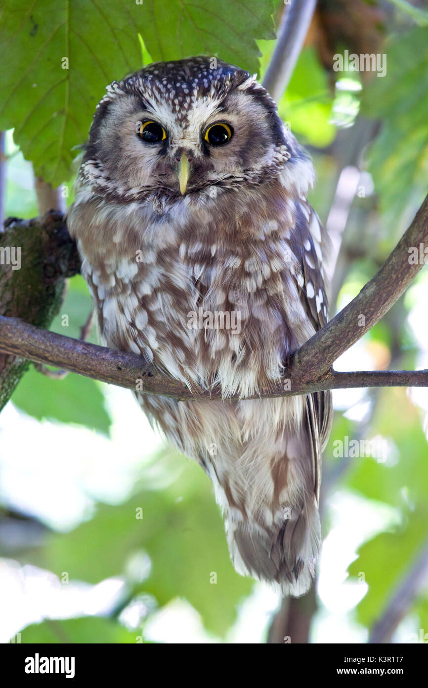 The boreal owl (Aegolius funereus) is a nocturn bird of prey that lives in the woods in the alps. Park of Baviera Stock Photo
