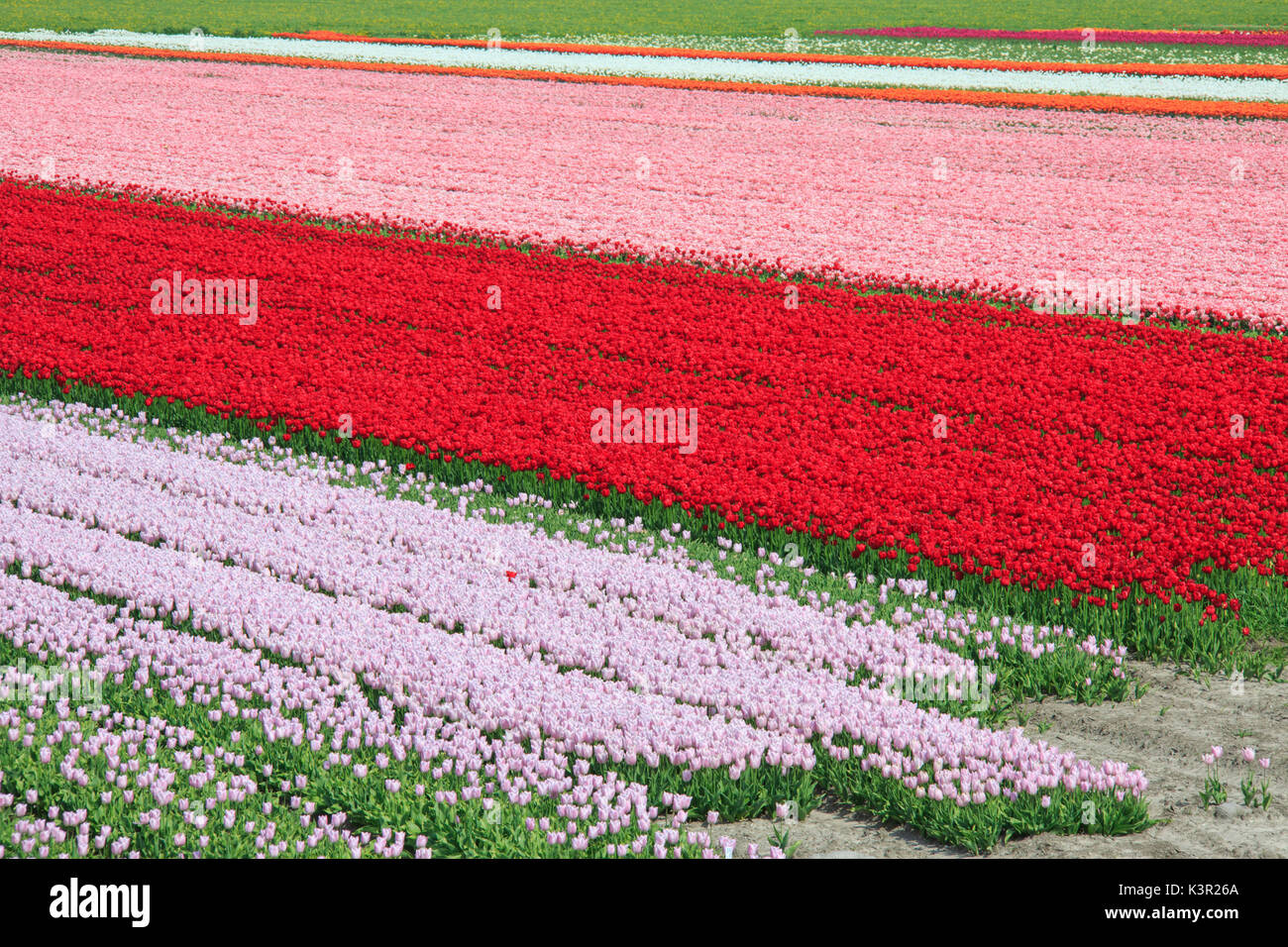 The colorful tulip fields in spring Berkmeer Koggenland North Holland Netherlands Europe - Stock Image