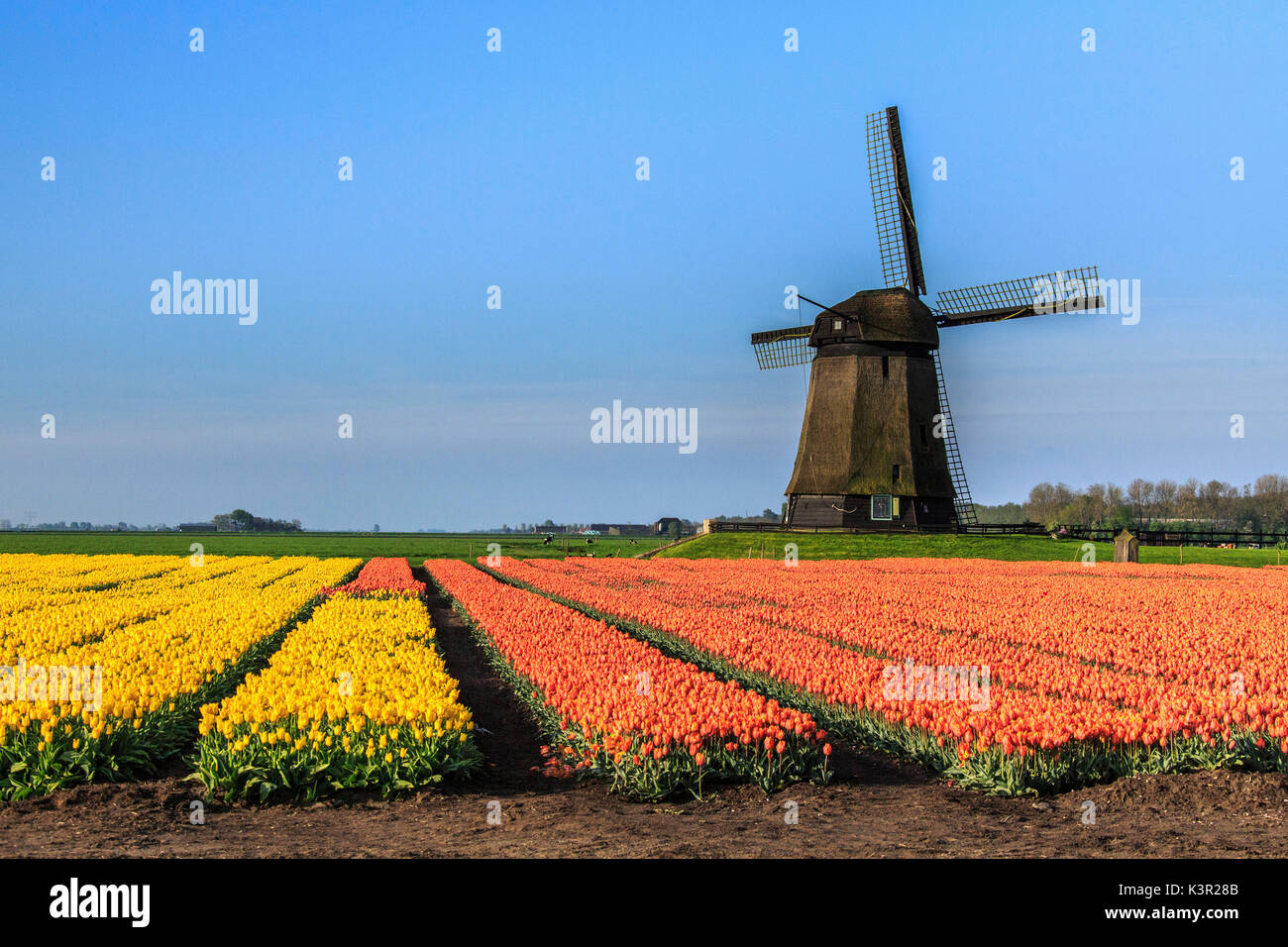 Multicolored tulip fields and blue sky frame the windmill in spring Berkmeer Koggenland North Holland Netherlands Europe - Stock Image