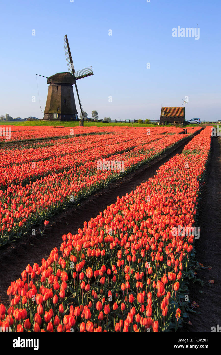 Red tulip fields and blue sky frame the windmill in spring Berkmeer Koggenland North Holland Netherlands Europe - Stock Image