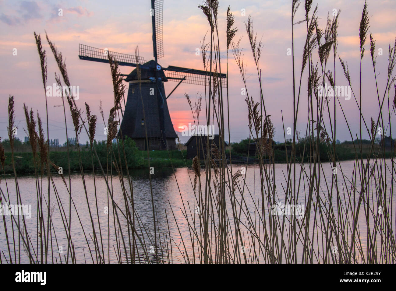 Corn ears frame the windmill reflected in the canal at dawn Kinderdijk Rotterdam South Holland Netherlands Europe - Stock Image