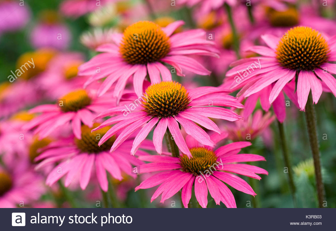 Echinacea 'Pink Shimmer' flowers. - Stock Image
