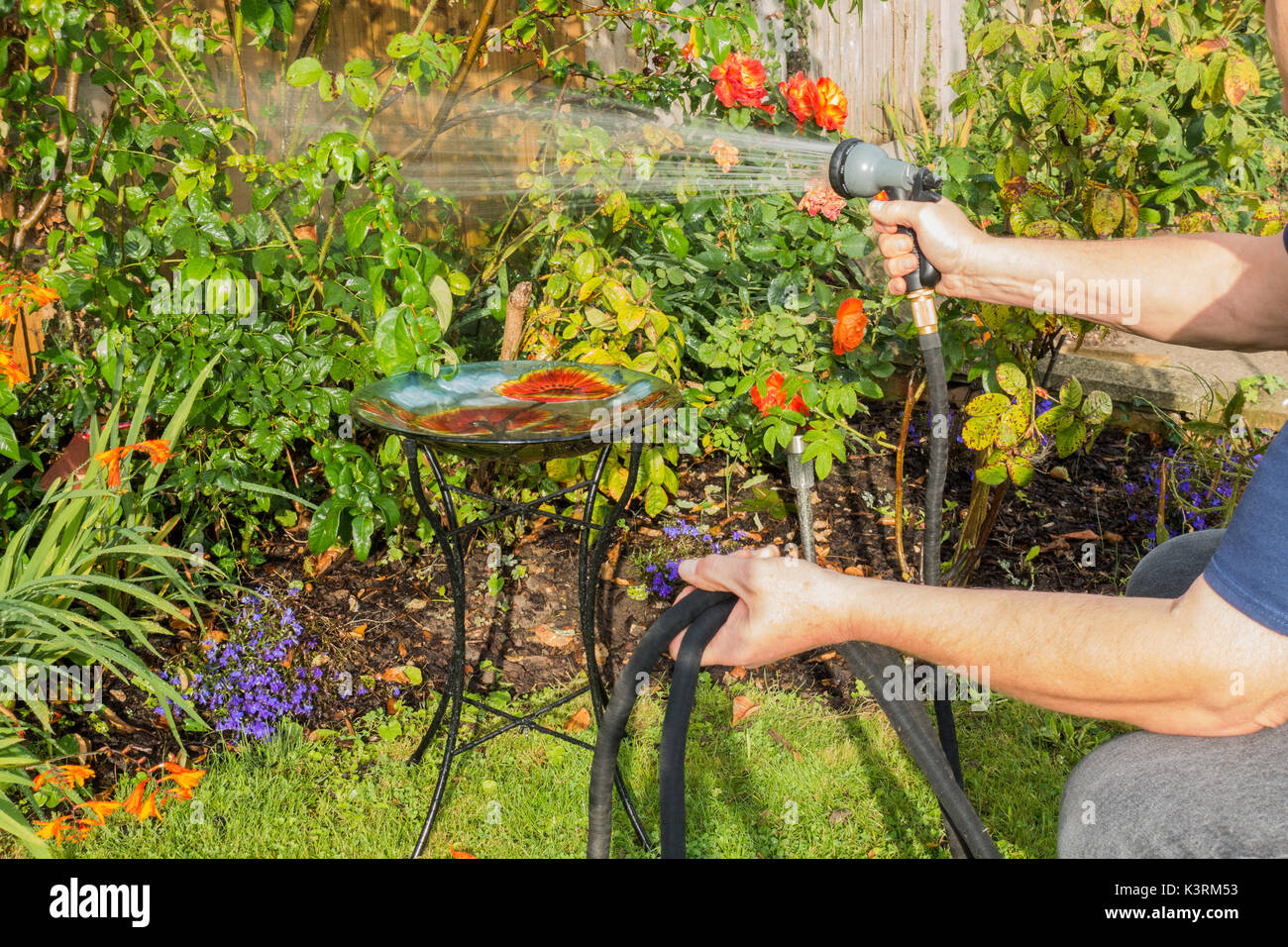 An older man watering his garden plants, early autumn, with a hose and spray attachment. Langtoft, Lincolnshire, England, UK. - Stock Image