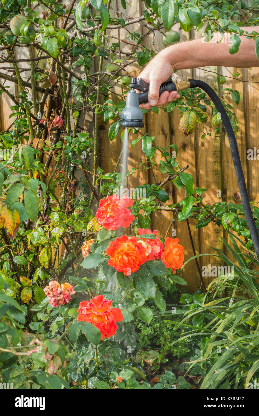 An older man watering his garden plants, early autumn, with a hose and spray attachment. Langtoft, Lincolnshire, Stock Photo