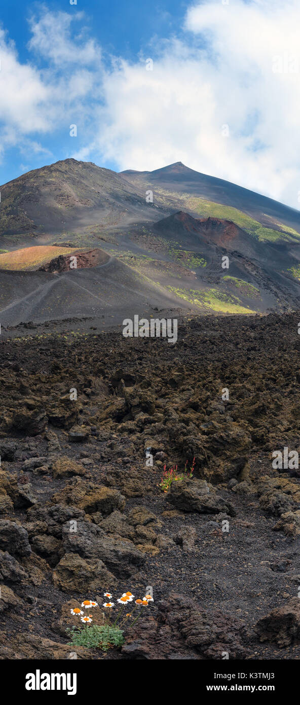 White chamomile flowers on stony magma fields between summer Etna volcano mountain craters, Sicily, Italy.  Two shots high-resolution image. - Stock Image