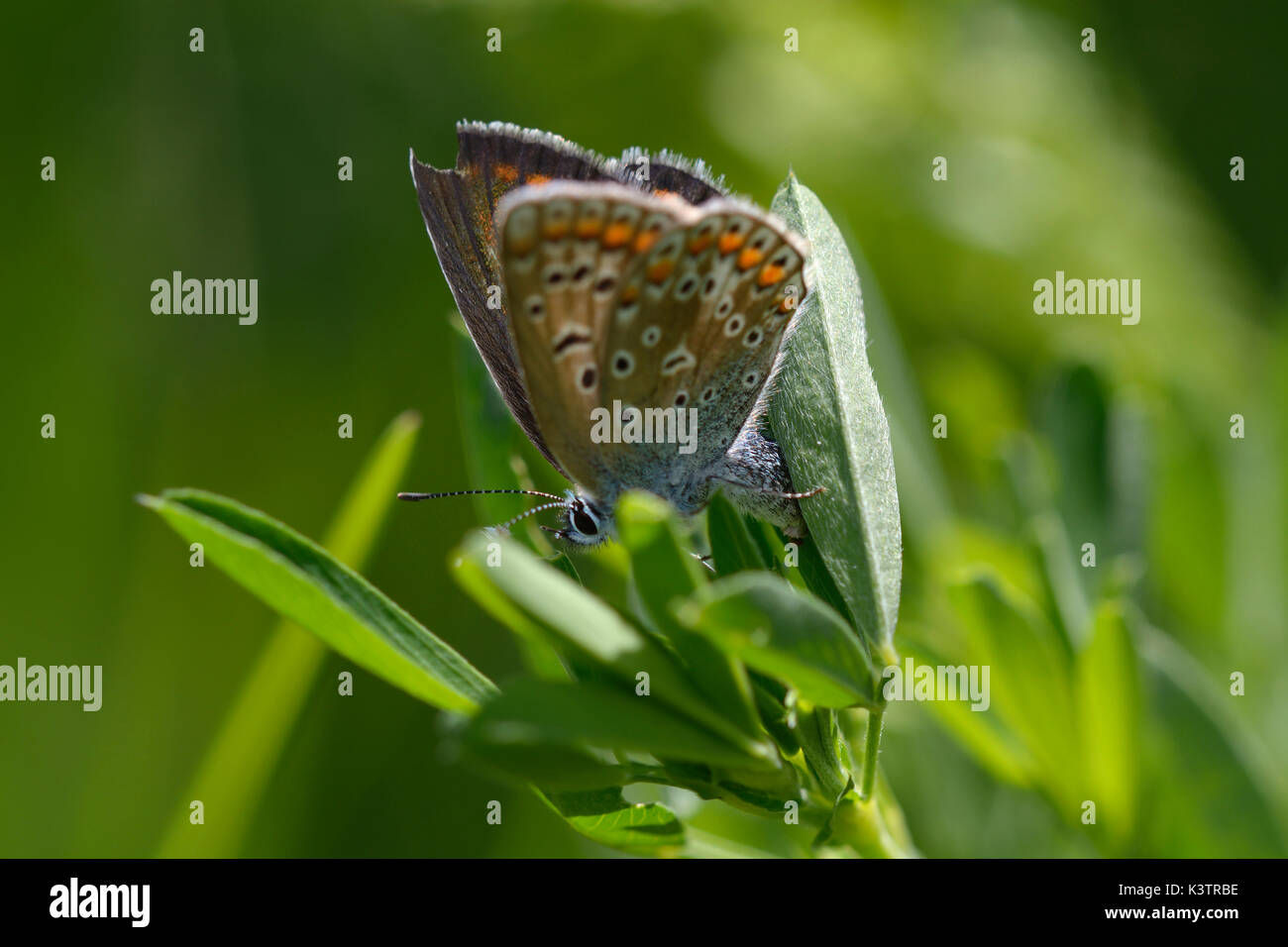 A butterfly the brown argus, Aricia agestis, laying eggs in grass. - Stock Image