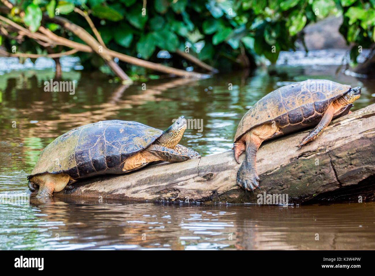 Tortuguero, Costa Rica, wild turtles on a - Stock Image