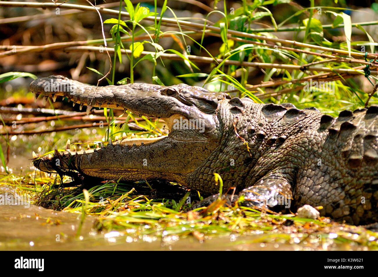 Crocodile in the natural park of Sumidero canyon in Chiapas, Mexico. - Stock Image