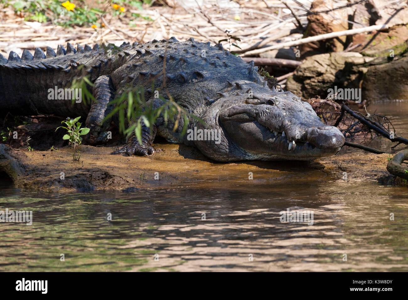 Crocodile, Sumidero Canyon, Chiapas, Mexico. - Stock Image