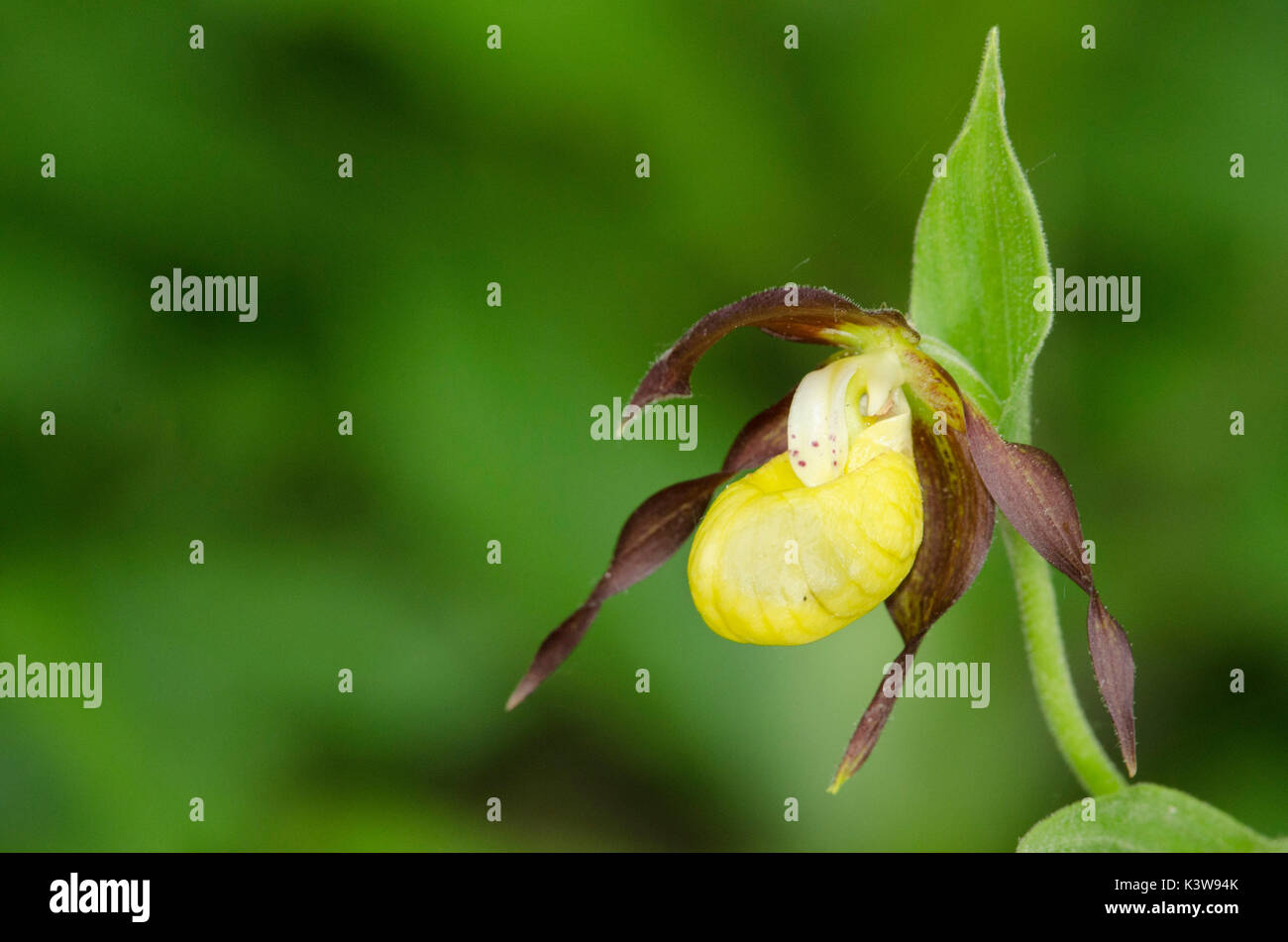 Wil orchid, Cypripedium calceolus - Stock Image