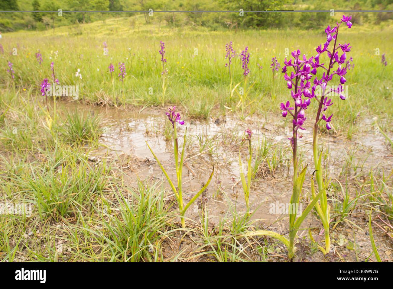 Wild orchid, Anacamptis laxiflora bloom in its specific habitat - Stock Image