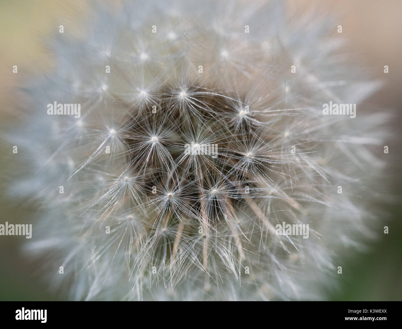 a close up macro detail of an undamaged dandelion head focussing on the outer florets, Uk - Stock Image