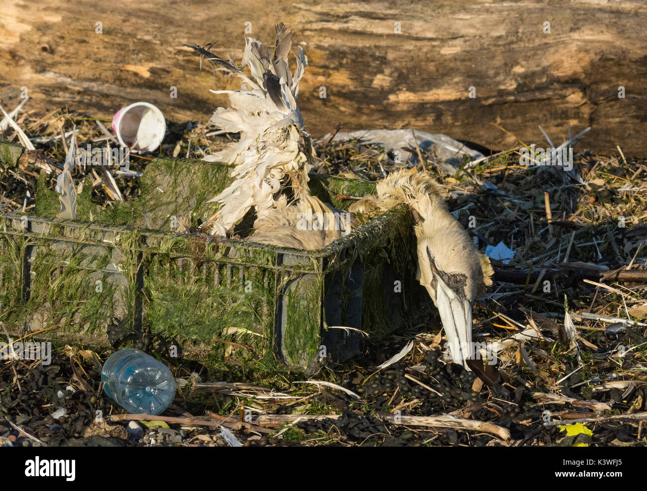 Dead Gannet, Morus bassanus, washed up on beach in plastic crate, Lancashire, UK - Stock Image